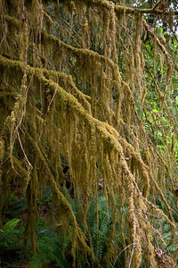 More Mossy Tree Branches - Hall of Mosses Trail, Hoh Rainforest
