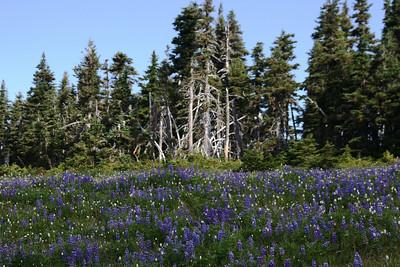 Wild flowers on Hurricane Ridge!