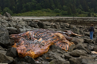 A dead humpback whale that had washed up onto the rocks of Cannonball Island about one month before.