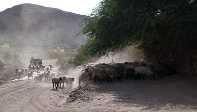Shepherding outside San Pedro de Atacama, Chile