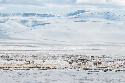 Vicunas at the Salar de Pujsa, high in the Chilean Altiplano