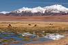 Vicunas and Volcanoes