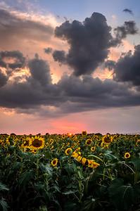 Patriotic Sunflowers