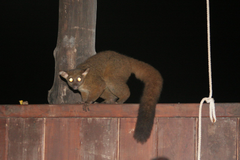 bush baby sneeking into our room at night