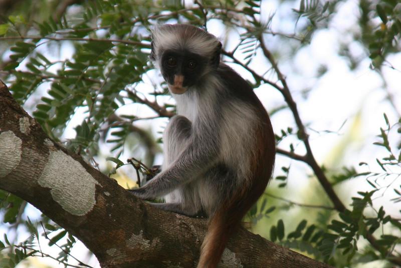 red columbus monkey
