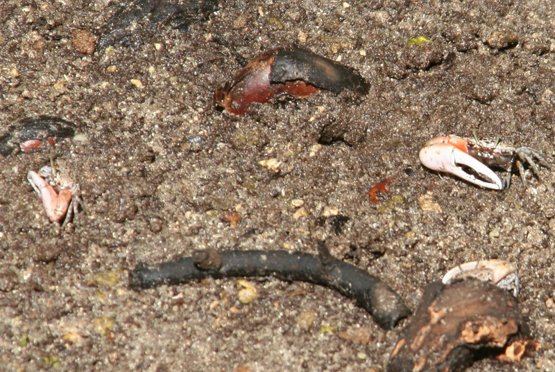 Fiddler crabs (one large claw!)