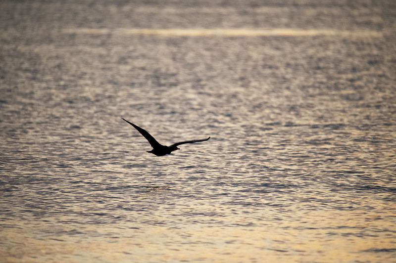 Silhouetted Cormorant