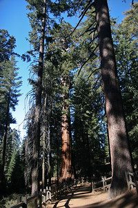 Giant Sequoia Trees, Sequoia National Park