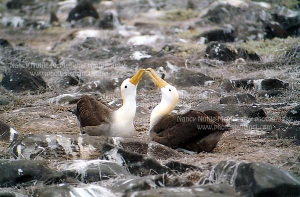 waved albatross_2