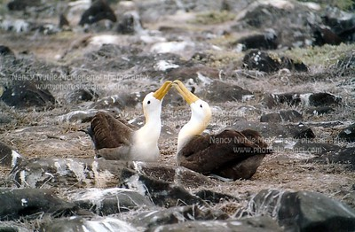waved albatross_2