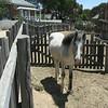 Ballarat Pony ... colonial, Good mining village called Sovereign Hill.