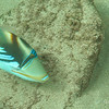 The beautiful Picasso Triggerfish#1