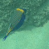 Male spotted Box Fish