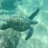 All the turtles from my shooting are Green Sea Turtles