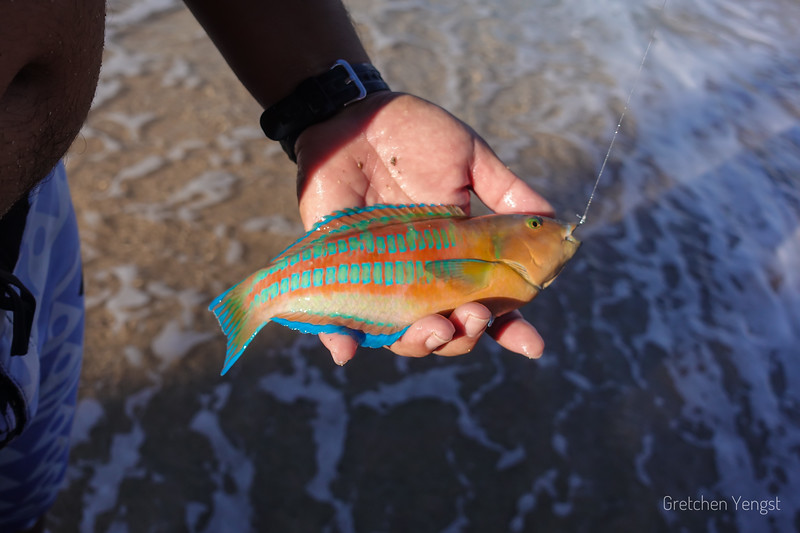He caught a small Christmas Wrasse (named for the red and green color).... but he will throw it back to swim and  get bigger :)