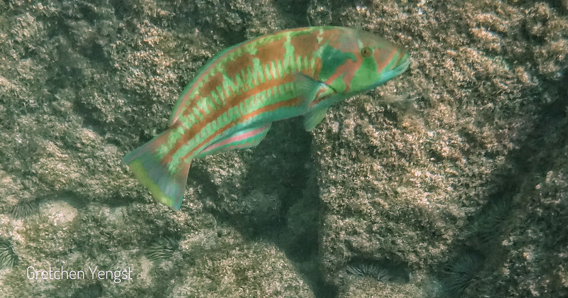 Here is my photo of a Christmas Wrasse from my underwater camera....the colors look a little different in the underwater light