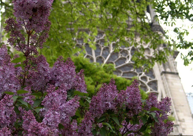 NDex6: I think Margaret in Wilton wanted to know about lilacs....yes, numerous bushes surround Notre Dame and they smell grand!
