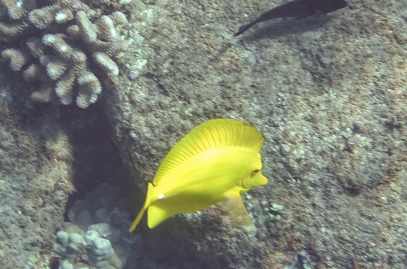 The Tang can raise its large dorsel fin and extend its anal fin looking like it is much larger than it is.