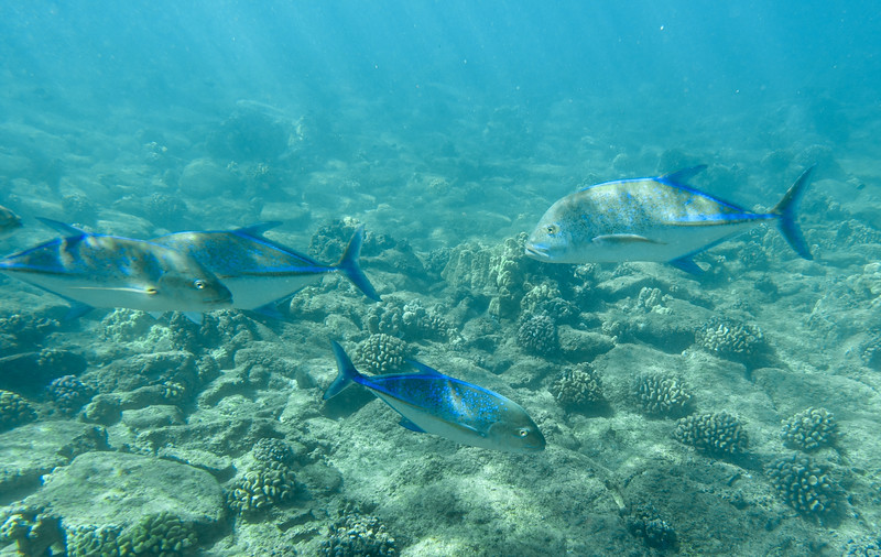 My first introduction to a large school of fish around me was this beautiful sight of Bluefin Trevally