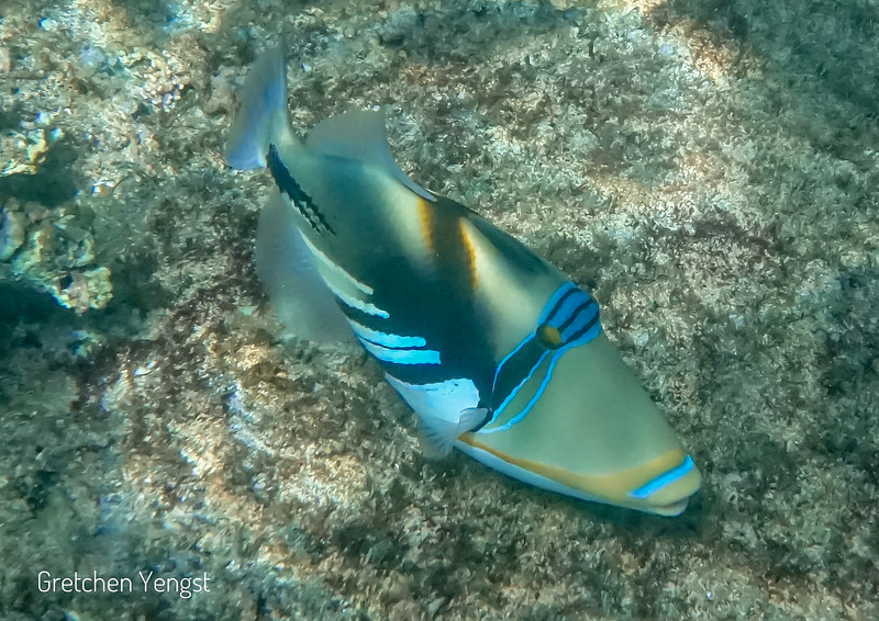 Now here is another Trigger Fish called the Picasso Fish.