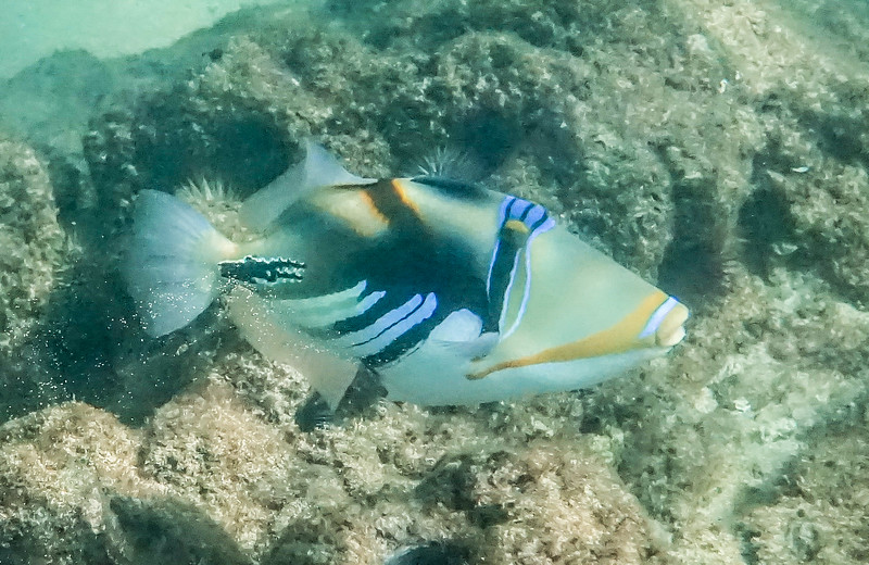 It looks very similar to the Humu and many people mix them up but this fish's markings look like a paint brush was used to apply .