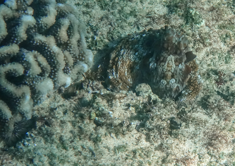 OK, what are we looking at here next to the coral???...it is an octopus all curled up. They work hard to camouflage and hide themselves.