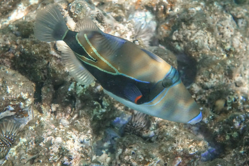 It is in the Trigger Fish family with its geometric markings