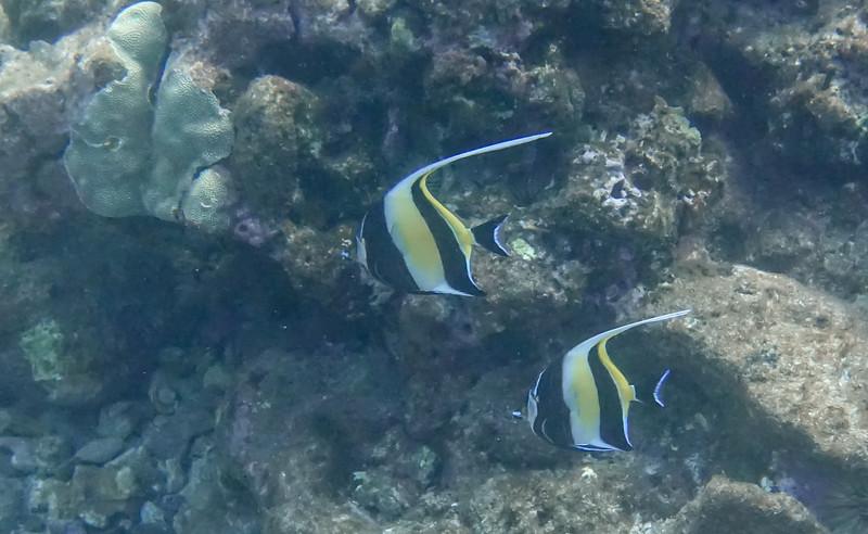The Moorish Idol fish like to swim in pairs ...