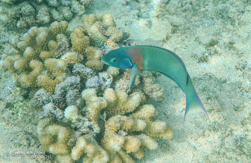 Here another Saddle Wrasse is guarding its nesting site