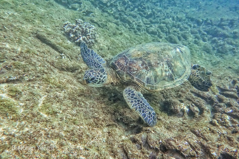 When they are looking for algae or limu (Hawaiian seaweed) to eat nothing much distracts them