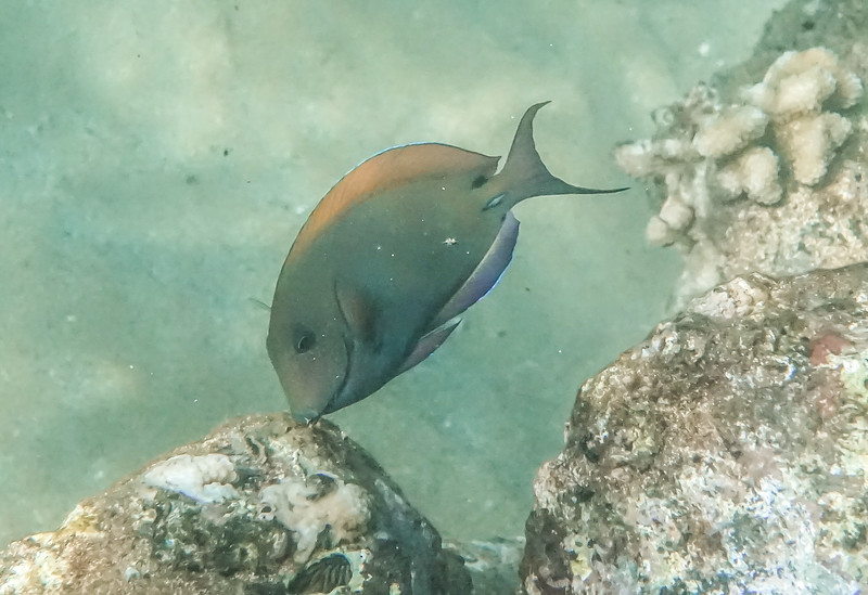 Very plentiful around Maui, this is a small Brown Surgeonfish.