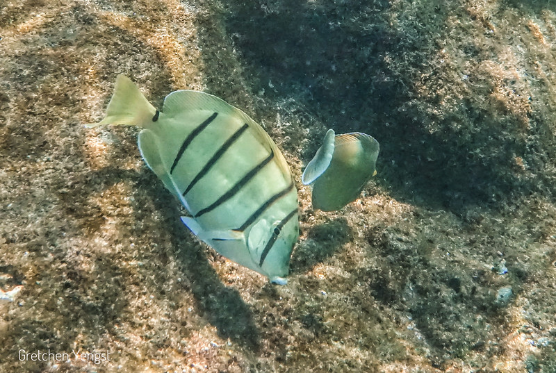 "This cute and distinctive fish is called a Convict Tang because of their ""stripped suit"""