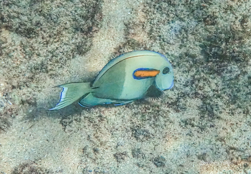 This cute fish is an Orangeband Surgeonfish...a youngster