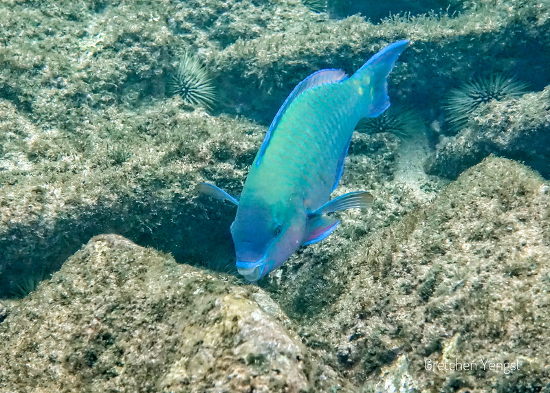 "This is a blue-green MALE fish ready to bite off a hunk of old coral which he will ""poop out"" as sand"