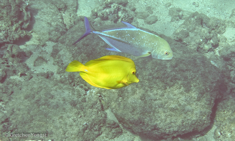 This beautiful pair just hang out together. The bluegreen fish on top is a Bluefin Trevally and the bright yellow one is a Yellow Tang. They can also swim in large schools making a magnificent sight