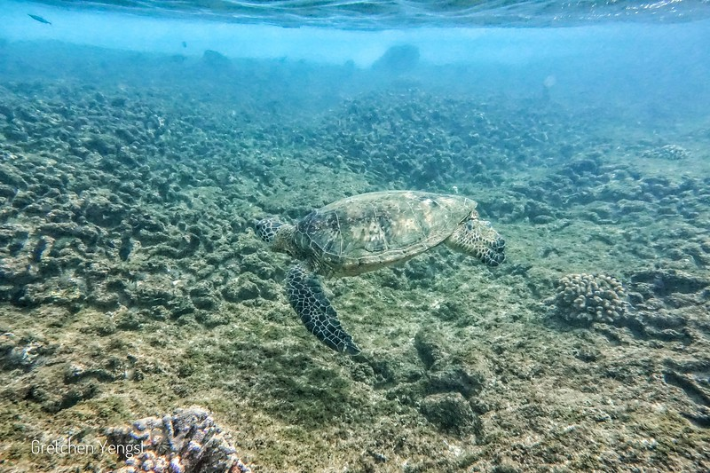 I have been very lucky to photograph the big Green Turtles of Hawaii