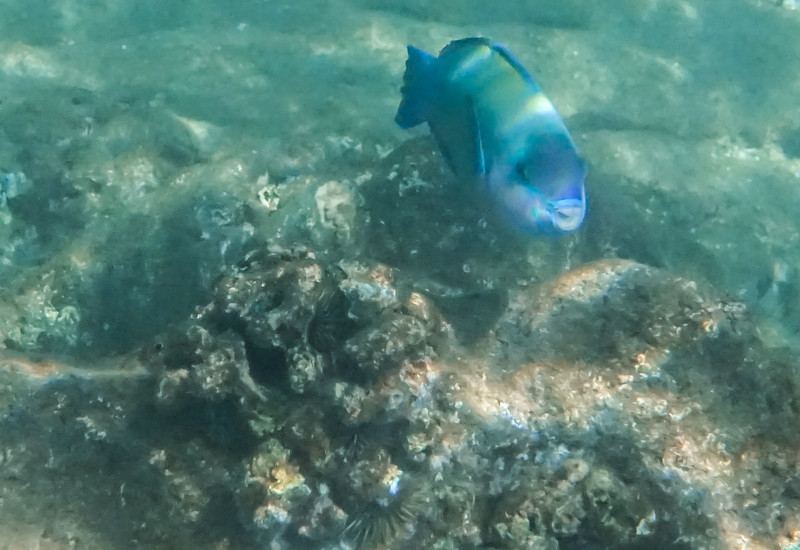 Here comes a fish with BIG TEETH called the Parrot Fish
