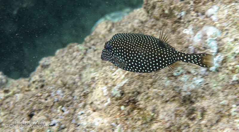 This cute little fish is called a Spotted Boxfish