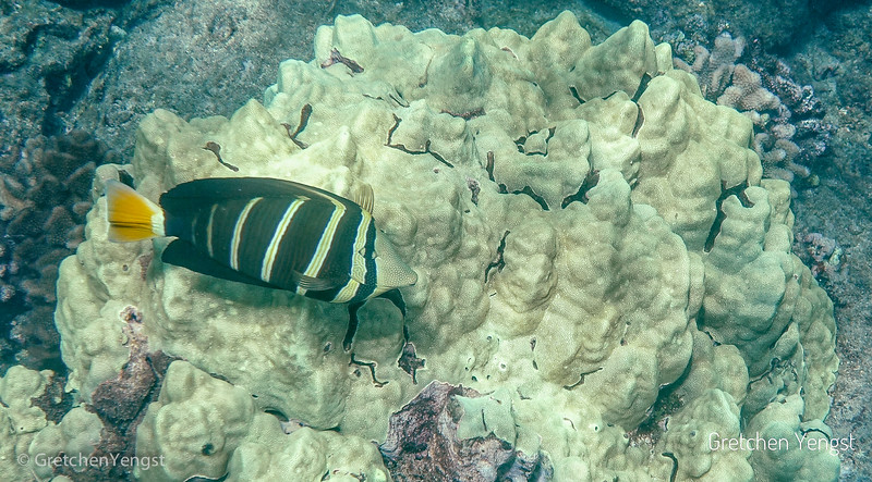 Corals also grown on the lava and attract the fish ... the fish begin to blend in with where they swim, nest and eat. This fish is a Sailfin Tang