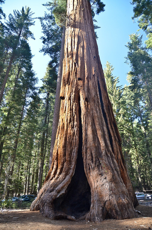 My first glimpse of a giant Sequoia in the Mariposa grove along the Southern edge of the park... see parked cars for scale.