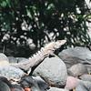 Bahia de Jiquilisco - Iguana