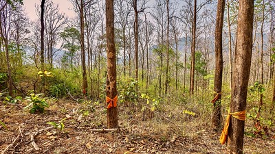 In a forest in northern Thailand, saffron colored ribbons are tied around the largest trees by Buddhist monks in an attempt to save them from being cut down.