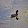 A Lone Coot