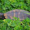 Turtle in the bush