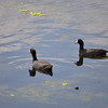 Two Coots