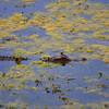 Alligator in the algae