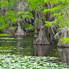 Cypress trees in Saw Mill Pond