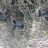 American Coots and Common Moorhens