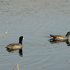 Coot, Moorhen and a Grebe, I think, on the left