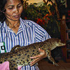 A baby crocodile is exhibited lovingly by this woman at the crocodile farm.